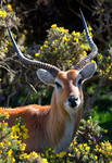 Lechwe Stag