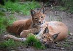 Eurasian Lynx Kittens