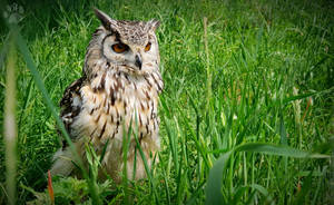 Bengal Eagle Owl by CharlyJade