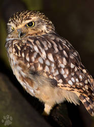 Little Owl by CharlyJade