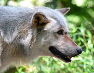 Grey Wolf by CharlyJade
