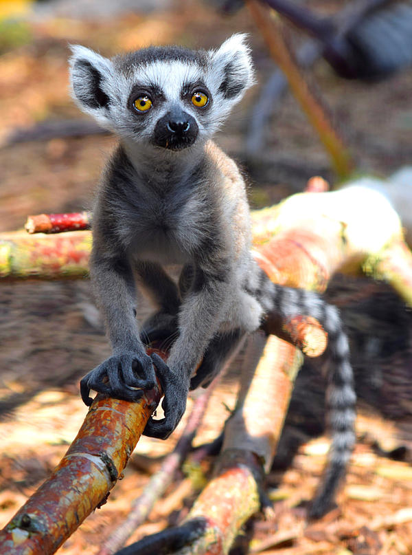 Ring-tailed Lemur Baby by CharlyJade