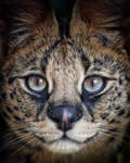 Serval Closeup by CharlyJade