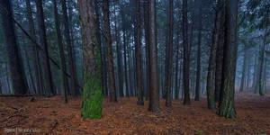 Forest by Rykardo