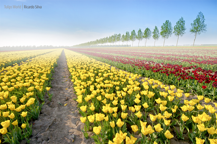 Tulips World by Rykardo