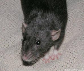 Lola rat 1