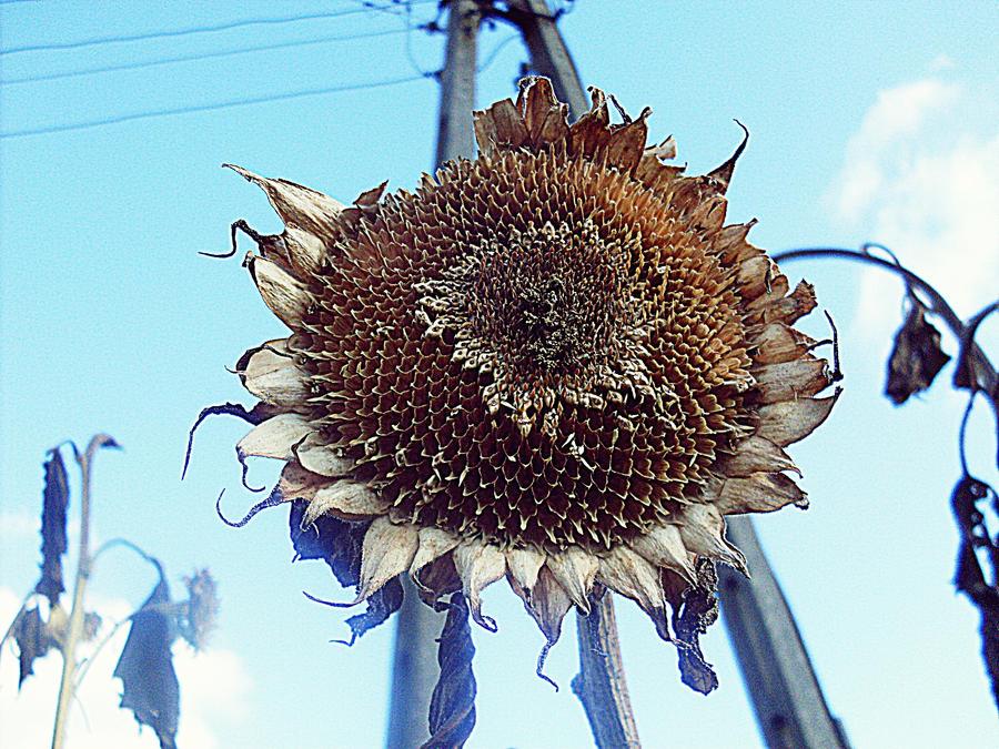Old sunflower by HaruAya