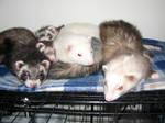 Pile of Ferret