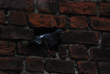 pigeon in niche by rosa08