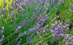 Lavender Field WS