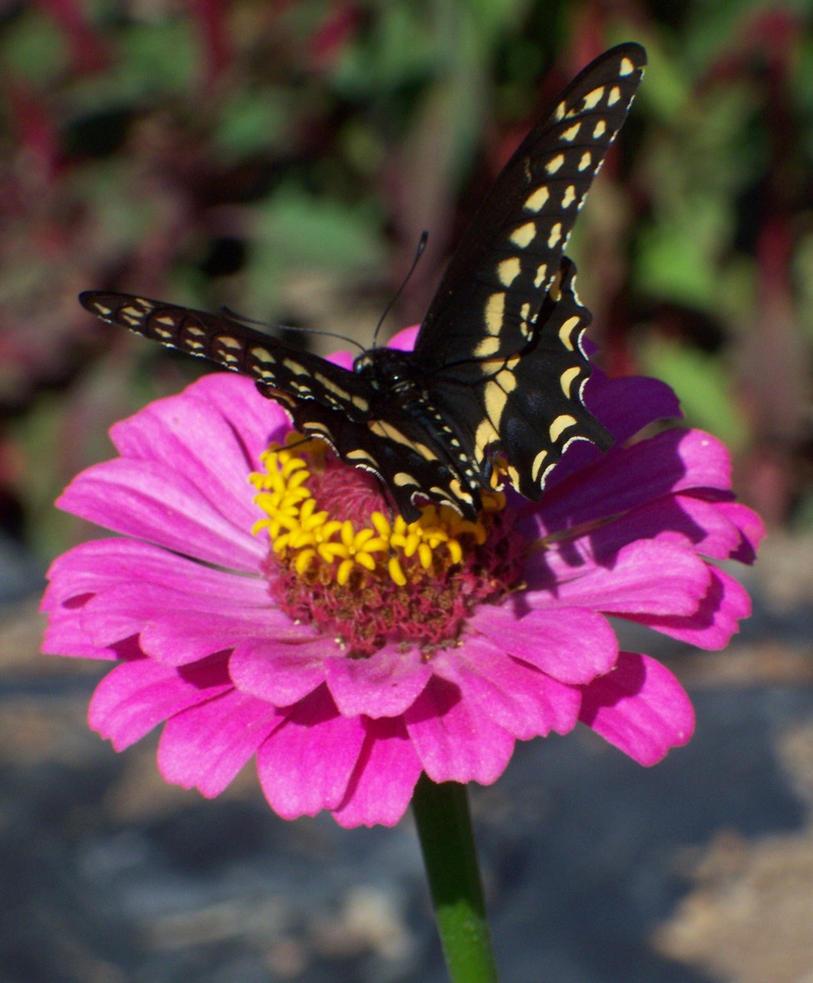 Black Swallowtail Back Turned by WildWanderinGirl