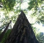 Muir Woods Standing Tall