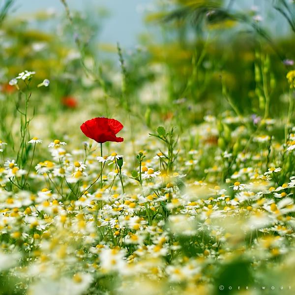 Mellow Meadow by Oer-Wout
