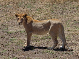 Wild Young Lioness by Track-Maidens