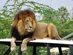 Big Simba