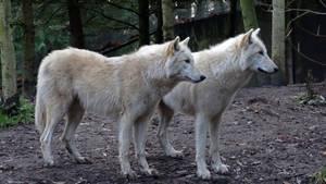 White Grey Wolf IV