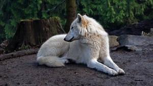 White Grey Wolf VI