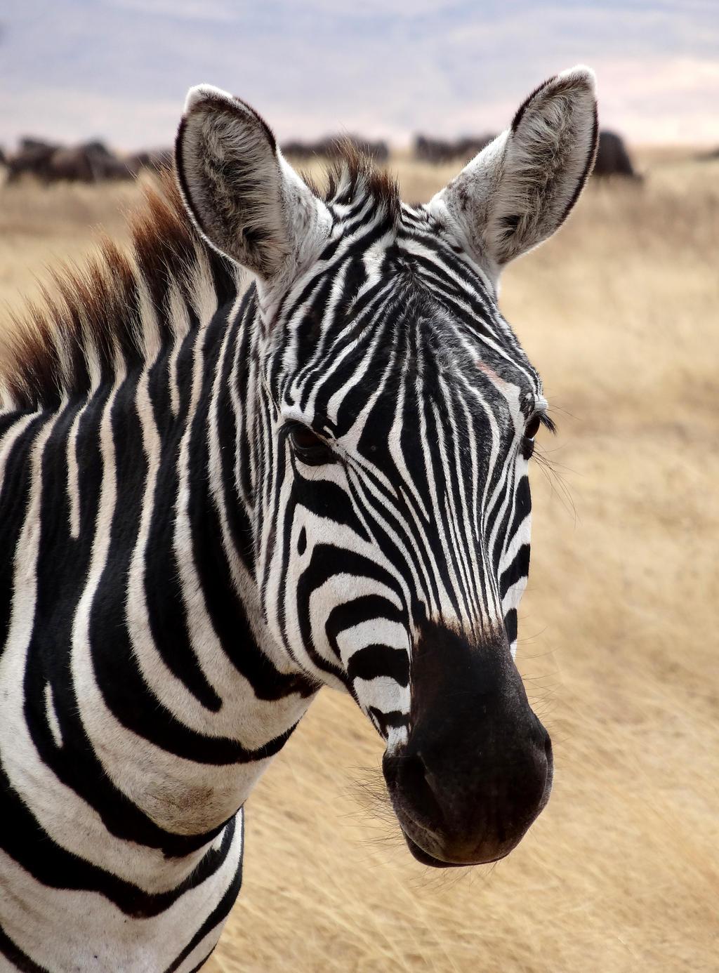 nopeus dating Zebra Augsburg Lesbo dating Cambridge UK