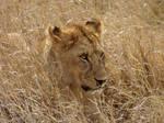Serengeti Lion in Grass