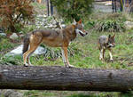 Red Wolf III