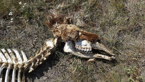 Elk Carcass I