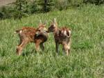 Mule Deer Fawn IV