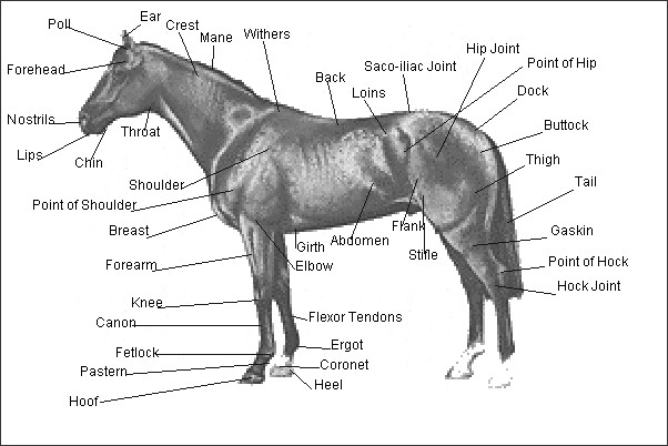 Ergot Horse Body Part Diagram - DIY Enthusiasts Wiring Diagrams •