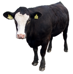 Stock Cow Number 3