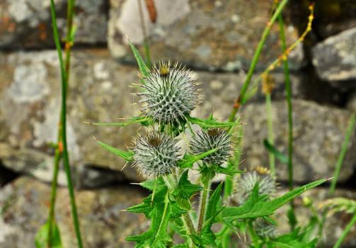Flower of Scotland?