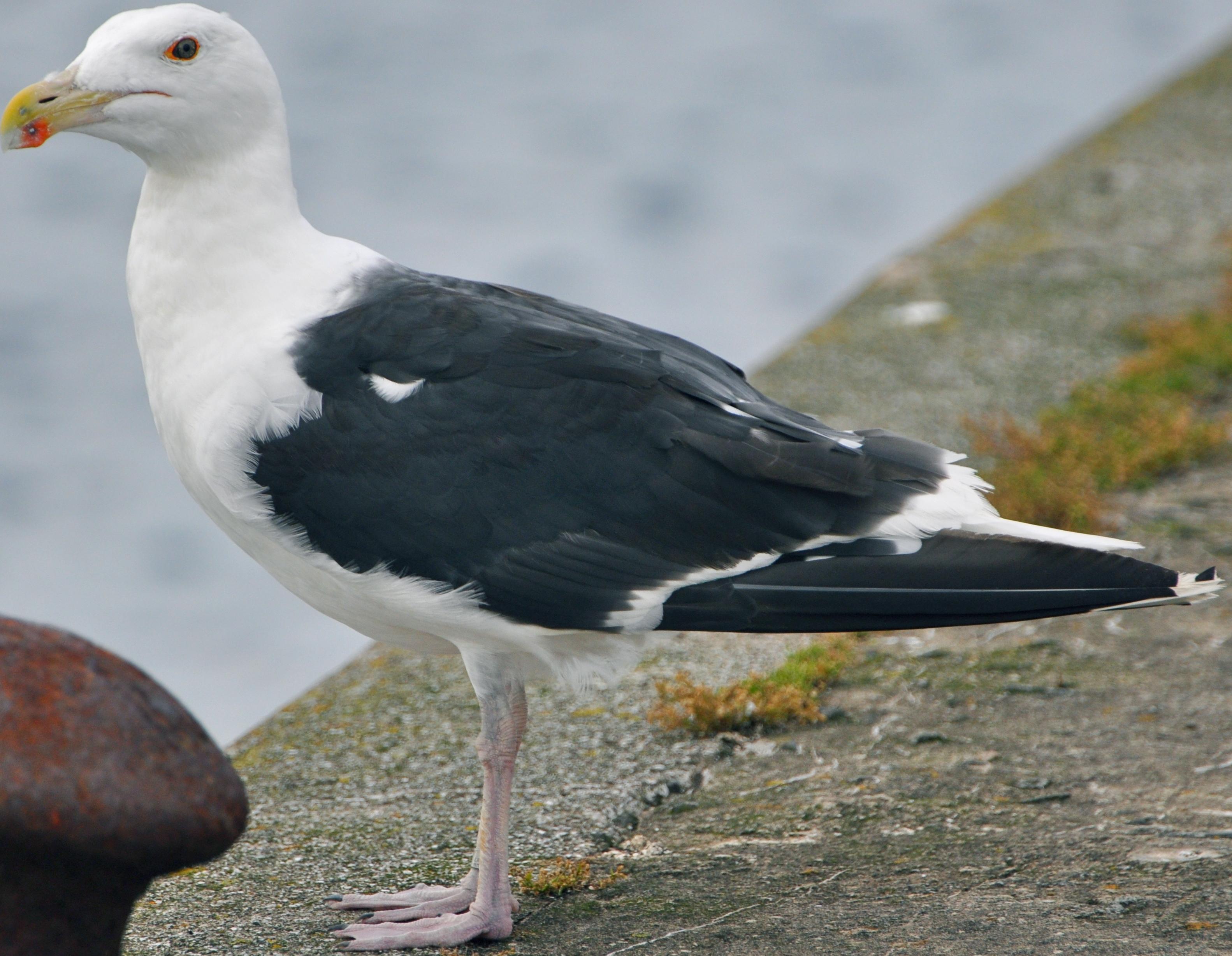 Подписи открытки, картинки чайки на прозрачном фоне