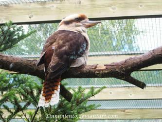 Kookaburra by Linnunlento