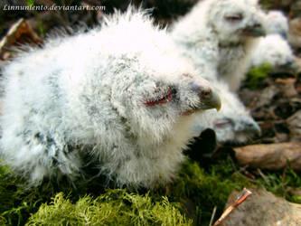Baby tawny owl by Linnunlento