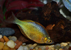 Emerald Rainbowfish