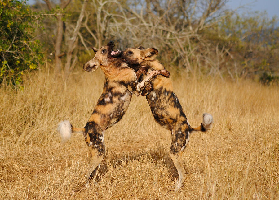 Wild Dogs Playing IIII by TamarViewStudio