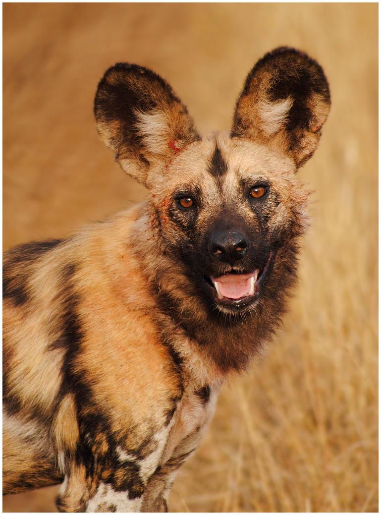Wild Dog Portrait by TamarViewStudio