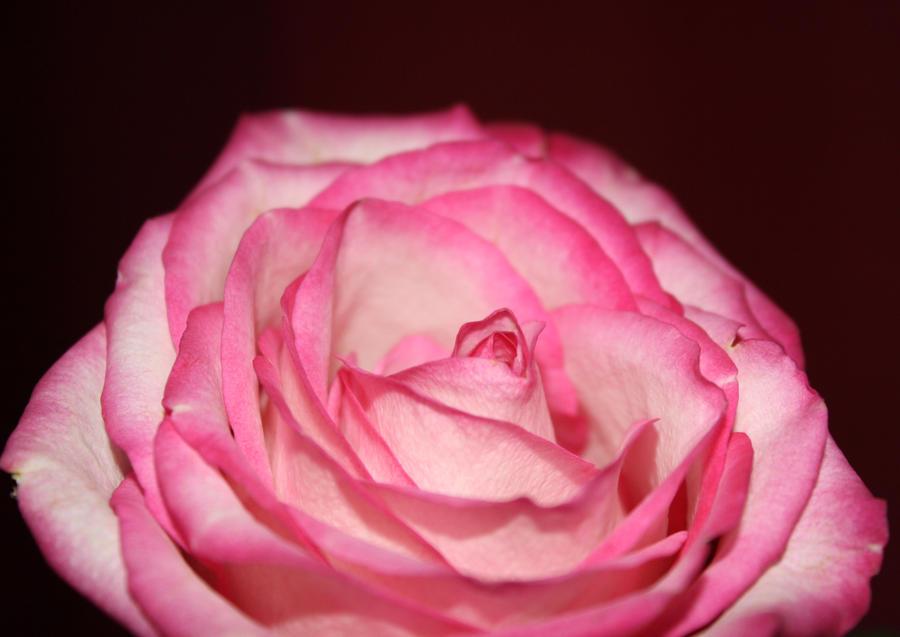 mothers day rose by gloriamae on deviantart. Black Bedroom Furniture Sets. Home Design Ideas