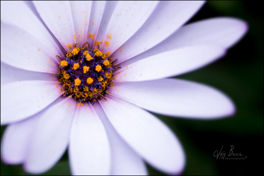 Fallen Pollen by jaybrar