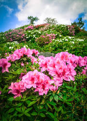 Higashi Village Azalea Festival - Flowers 2