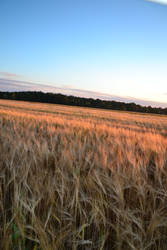 Among the Fields of Barley