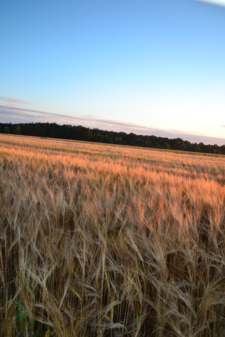 Among the Fields of Barley by feainne-stock