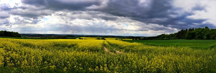 Large panorama of an oilseed rape field