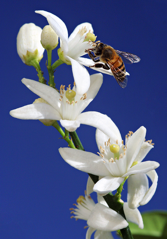 external image bee_on_an_orange_tree_flower_by_knold.jpg