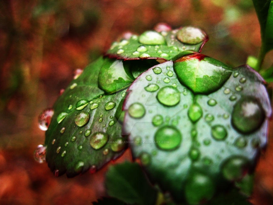 Rose Leaves and Raindrops by AmanitaKnight