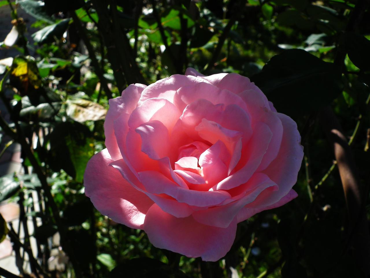 Pink Rose by Sadguardian