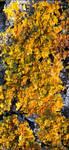 Lichen ... by Chotacabras