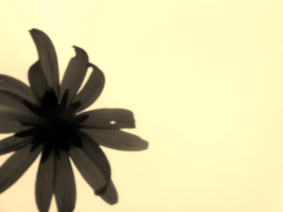 sepia daisy by poeticwriter007