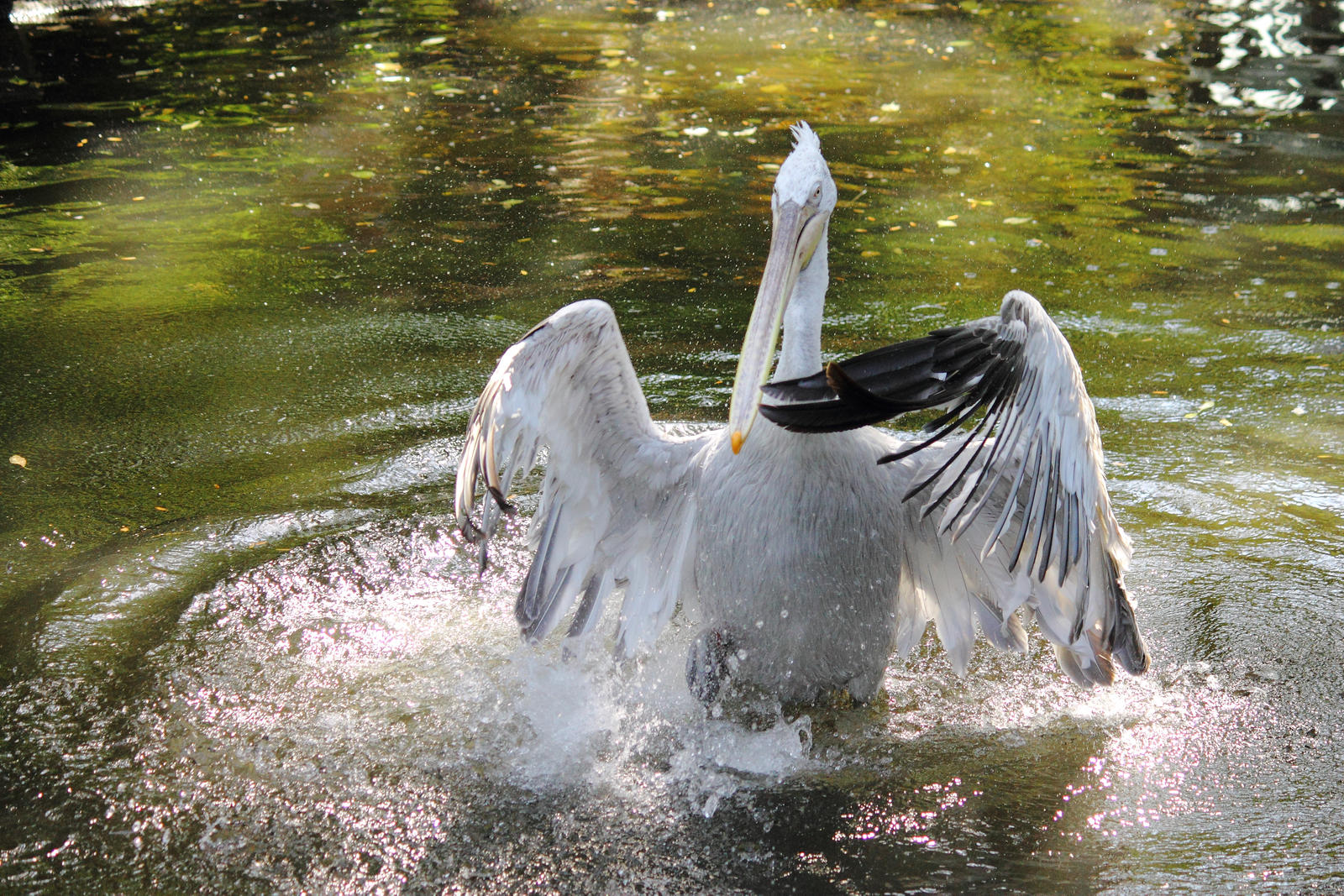 Pelikan by Magellan89