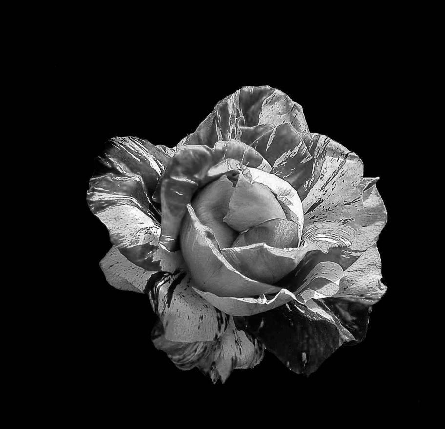 Rose Sanguine by Mavricot