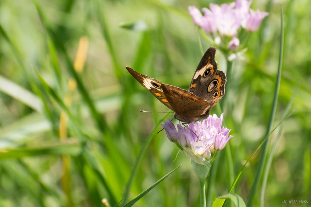 Common Buckeye Butterfly by thinkDoug