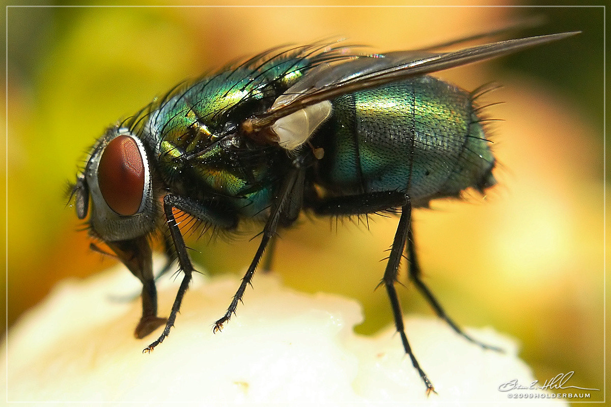 Blowfly Blow Fly Tongue by